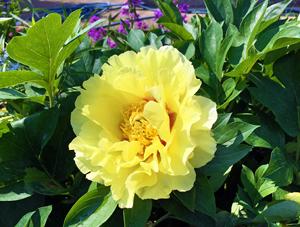 黄色い芍薬